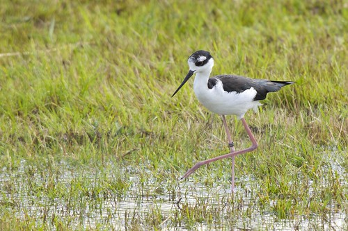 Himantopus mexicanus - Black-necked Stilt | by Marc Nollet