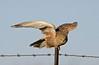 Greater Kestrel (Falco rupicoloides) by Ian N. White