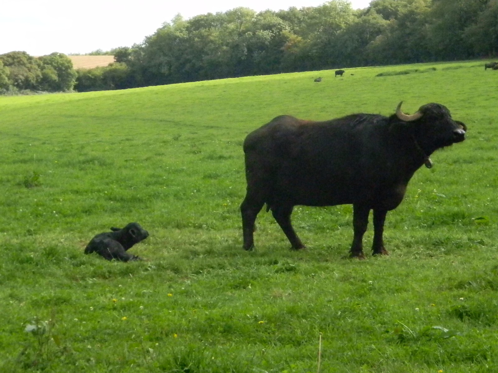 """Bufalo and calf Overton Circular. Its not everyday you find yourself walking past a water buffalo and even less likely one that has just given birth. I guess we were here www.laverstokepark.co.uk/buffalo-mozzarella"""" rel=""""nofollow www.laverstokepark.co.uk/buffalo-mozzarella"""