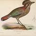 Iconographie ornithologique