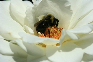 Bee in White Rose