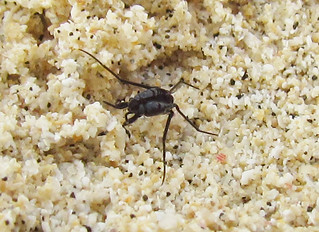 Halobates sp. (Heteroptera: Gerridae), 20 August 2011, Castle Beach, Kailua (Oahu), Hawaii   by entophile