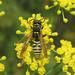 Polistes nimpha (a paper wasp)