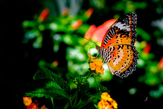 The Leopard Lacewing Butterfly (Cethosia cyane) | by www.ziggywellens.com