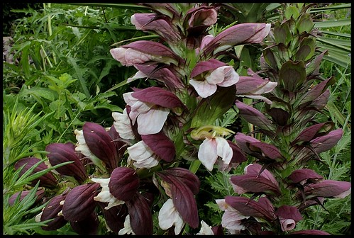 Acanthus spinosus et var. spinosissimus 22494264975_0b934ae25a