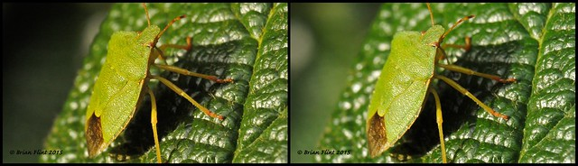 Shield Bug 16by9 - 3d crossview