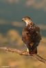 ÁGUIA-DE-BONELLI / ÁGUIA-PERDIGUEIRA | BONELLI'S EAGLE (Aquila fasciata) by Carlos Patrício