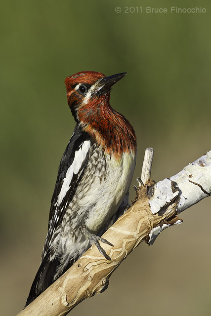 An Alert Red-breasted Sapsucker