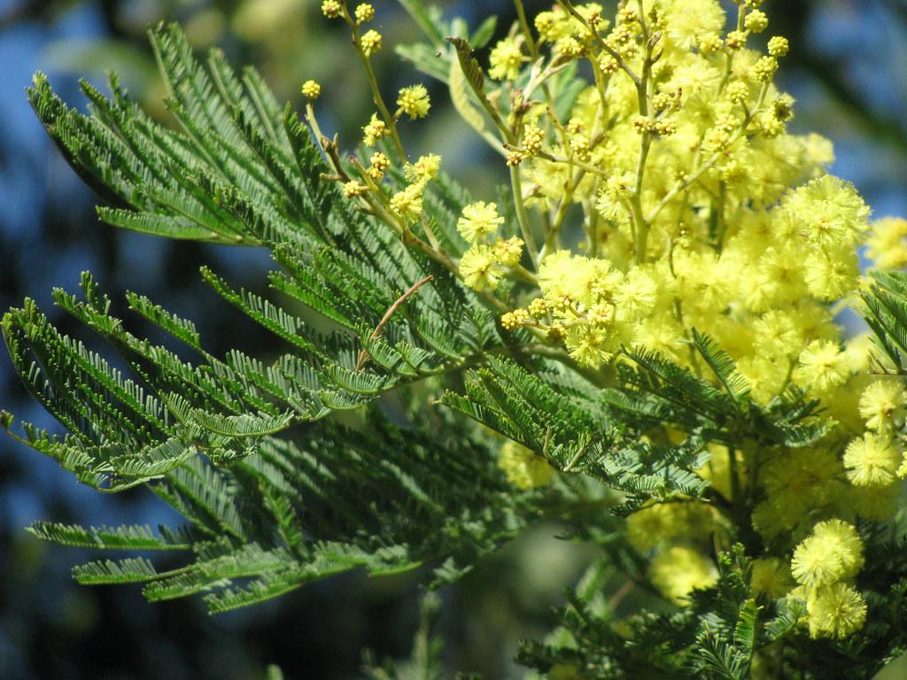 Acacia Mearnsii Black Wattle Green Wattle Black Wattle Flickr
