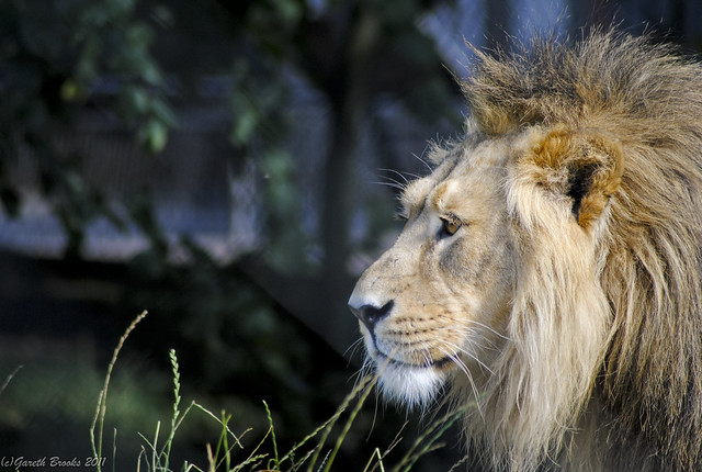 Asiatic Lion - King Of Chester Zoo