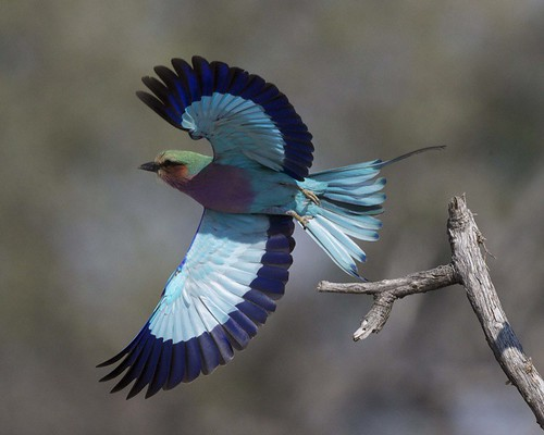 Lilac-breasted Roller (Coracias caudatus) | by Lip Kee