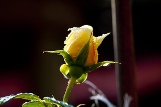 Yellow rose - Rosa Gialla | by 84billy
