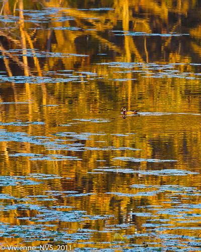 autumn sunset bird reflections duck illinois pond waterlily preserves lakecounty woodduck milleniumtrail lakewoodsforestpreserve