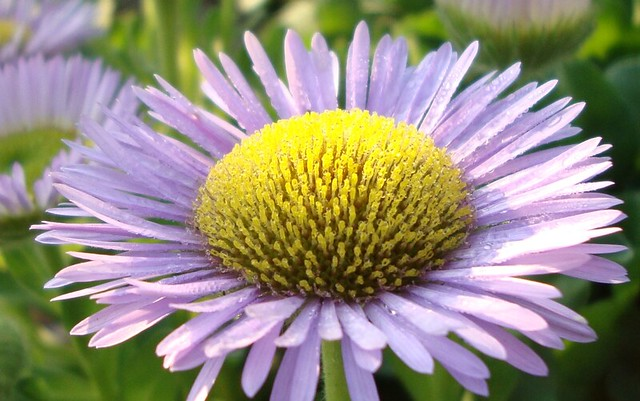 Aster Pappei
