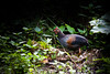 Grey Junglefowl by Jnarin