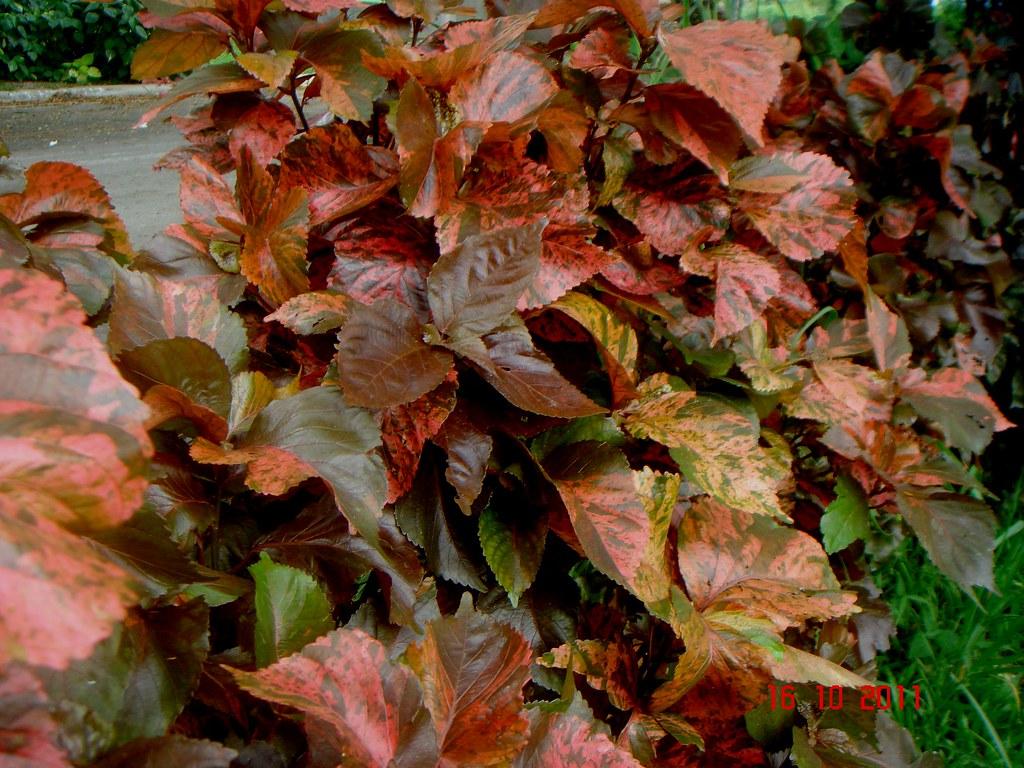 Acalypha Wilkesiana Müll Arg Hort Macrophylla Shah Ala Flickr