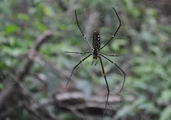 Una aranya considerable