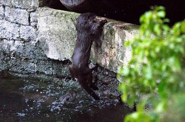 8-9913 Otter Swinger!