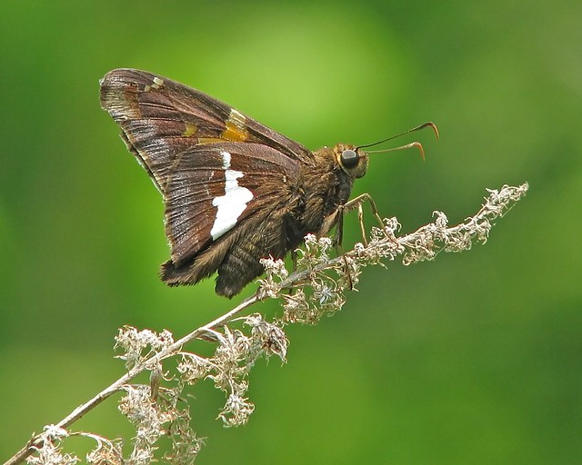 Silver-spotted skipper on dry weed stem