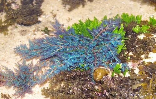 Blue seaweed P9128