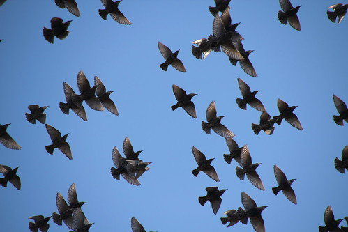 European Starlings Overhead | by Mr.TinDC