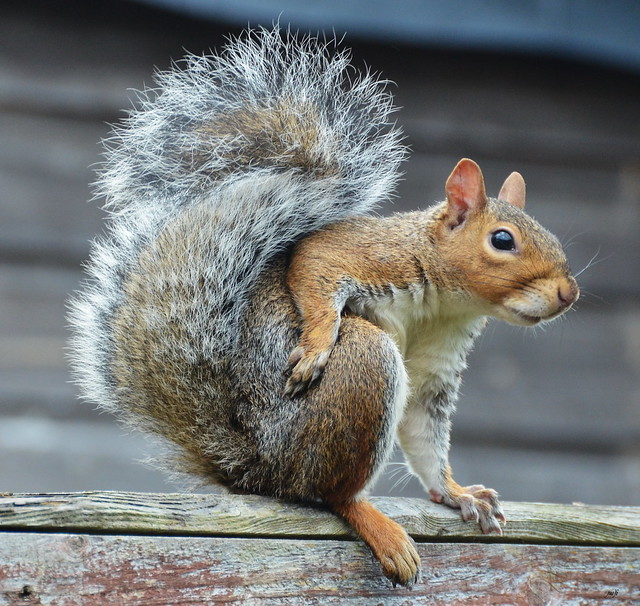 Model Art for Squirrels page 7 : While posing, the model is expected to remain motionless, like a mannequin, experienced models will not speak, wriggle, scratch, or readjust during the pose