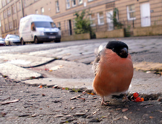 Bobby the Bullfinch | by Zou san