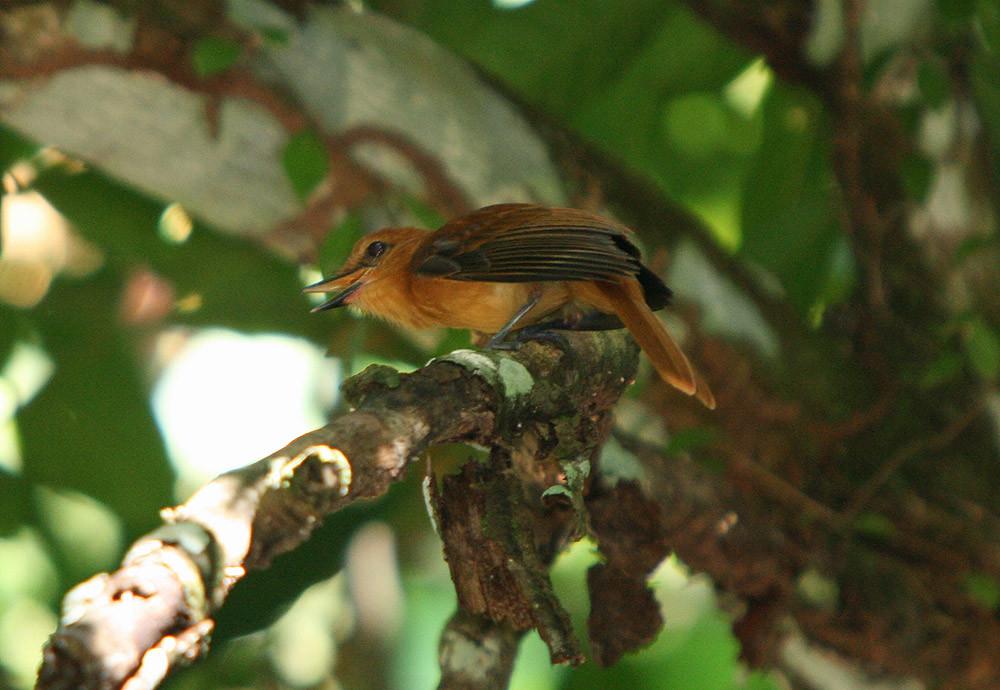 Cinnamon Attila (Attila cinnamomeus)