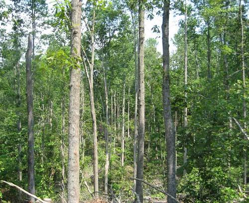 Poplar stand post-harvest.