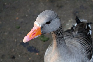 Greylag goose | by will668