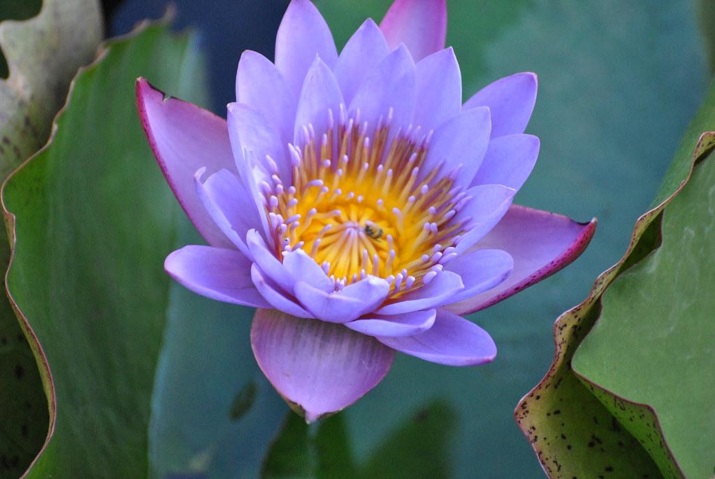 National Flower Of India Lotus Where Sangali State Mah Flickr