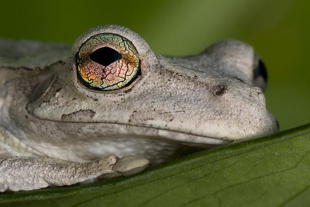 Rana Comun Arboricola de la Hispaniola / Hispaniolan Common  Tree frog / Osteopilus dominicensis /