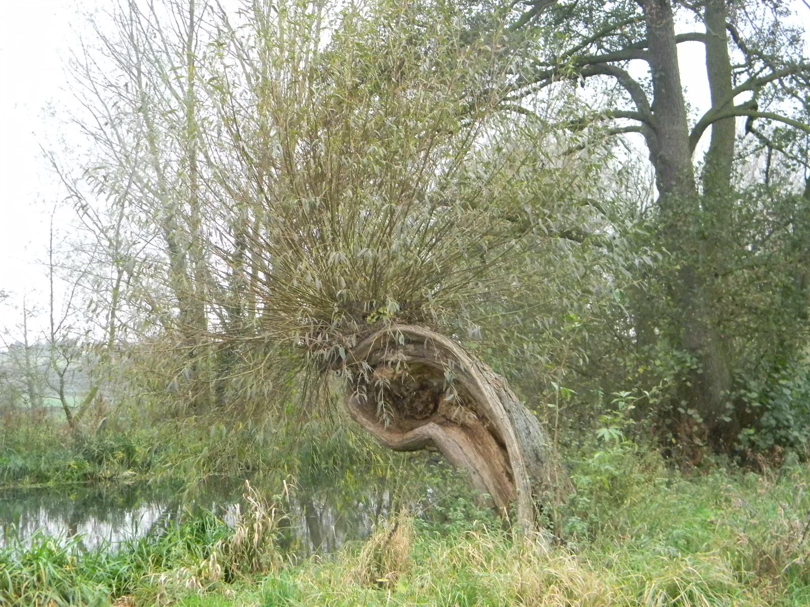 Unusual willow pollard Manningtree Circular