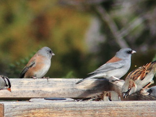 Pink-sided and Gray-headed Juncos 20111114 | by Kenneth Cole Schneider