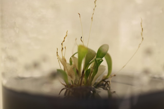 Lepanthes tsubotae from Jean Marc