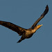 Flickr photo 'Double-crested Cormorant' by: sydphi.