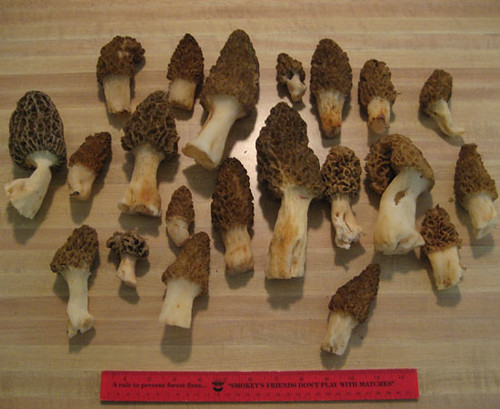 Morel mushrooms (aka Merkels) found in Pilot, Virginia