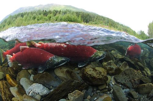 Sockeye Salmon, Kenai River | by USFWSAlaska