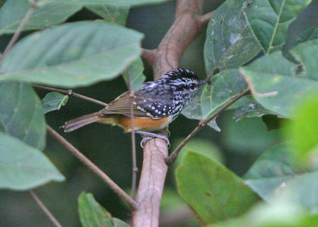 Guianan Warbling-Antbird Hypocnemis cantator