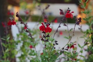 Salvia flowers | by troymckaskle