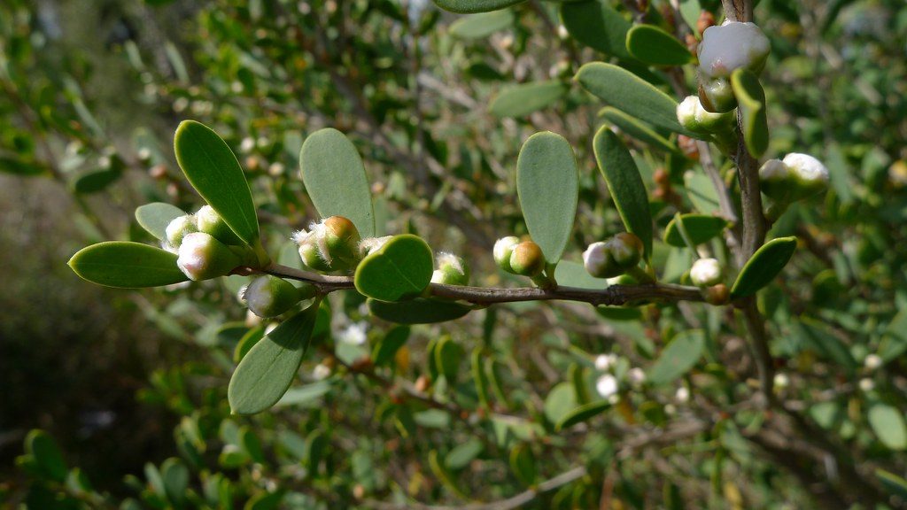 tea-tree flower buds