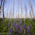 Lupine in the burned forest