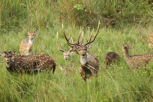spotted deer | by Raghuvir solanki
