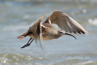 Whimbrel in Flight - Malibu, CA | by Michael W Klotz - The Bird Blogger.com