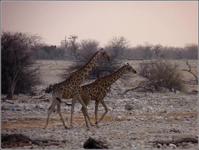 Okaukuejo: Giraffes on the move