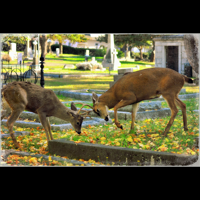 battling bucks . . .