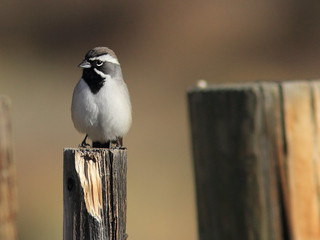 Black-throated Sparrow 3-20111114   by Kenneth Cole Schneider