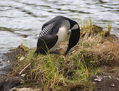 Common Loon | by ted's