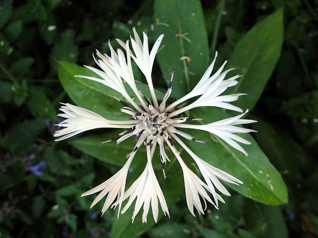 White cornflower - witte korenbloem
