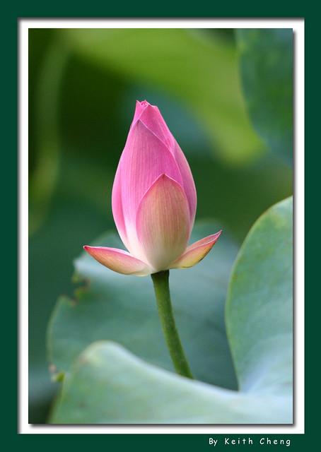 lotus2006_40